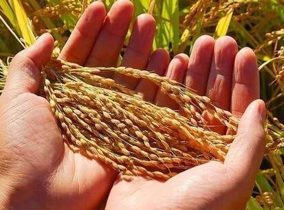 小麦叶横切面结构