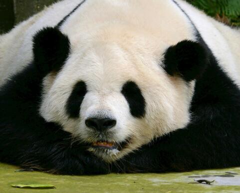 """首届阿拉木图电影节开幕 开心""""熊猫""""成看点"""