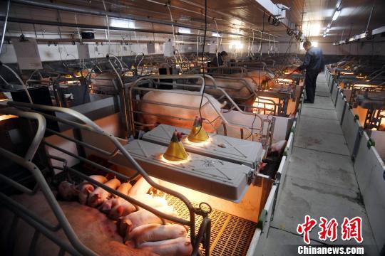 英媒称中国养猪场奔向现代化:助中国猪肉走向国际