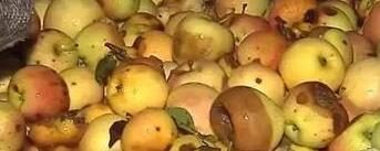 评论:2毛一斤收腐烂苹果榨汁 声称出口就能洗白了?