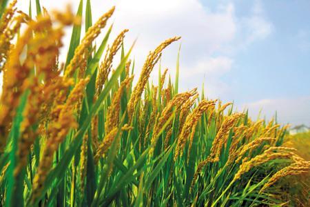 2018年我国粮食生产目标:稳定在12000亿斤以上