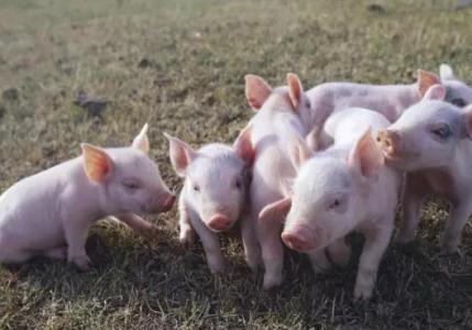 农业专家:不应将生猪养殖周期缩短妖魔化