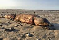 飓风过后 美国德州海滩现神秘无眼生物
