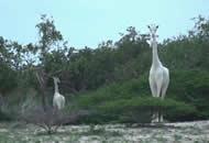 肯尼亚发现罕见纯白色长颈鹿