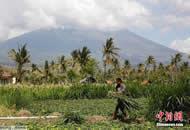巴厘岛火山警戒升至最高 民众淡定收割庄稼