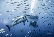 """墨西哥大白鲨水下""""挑逗""""研究员 人类显""""娇小"""""""