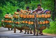 """孟加拉""""人力车夫"""" 用自行车拉几十个菠萝"""