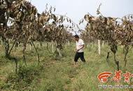 200多颗猕猴桃树即将迎来收获 却遭人腰斩