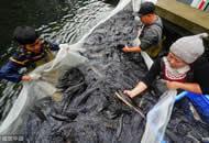 女子投资200万养鲟鱼 年售10万斤赚100万