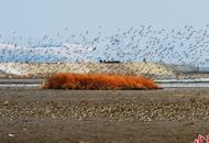 候鸟迁徙过境胶州湾 成壮观过境潮