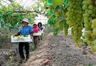安徽全椒:发展特色农业 助力乡村振兴